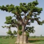 Arbre Baobab baomix.com